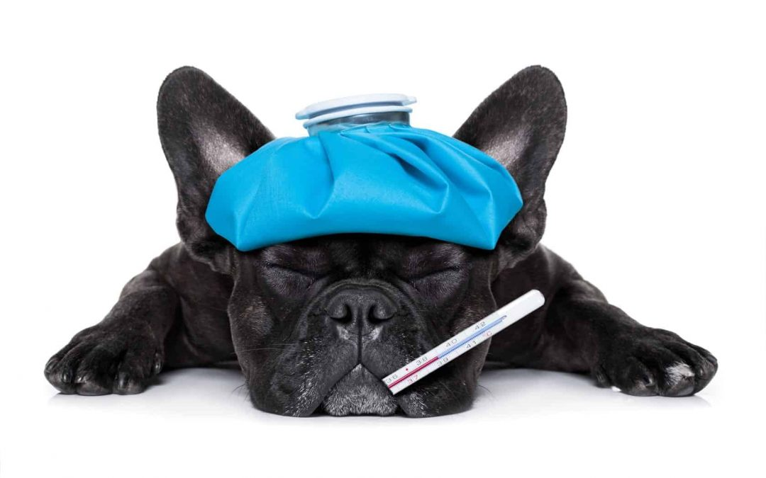 Dog Flu Outbreak: Everything You Need to Know & How To Treat it