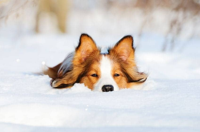 7 Essential Dog Safety Tips During the Winter