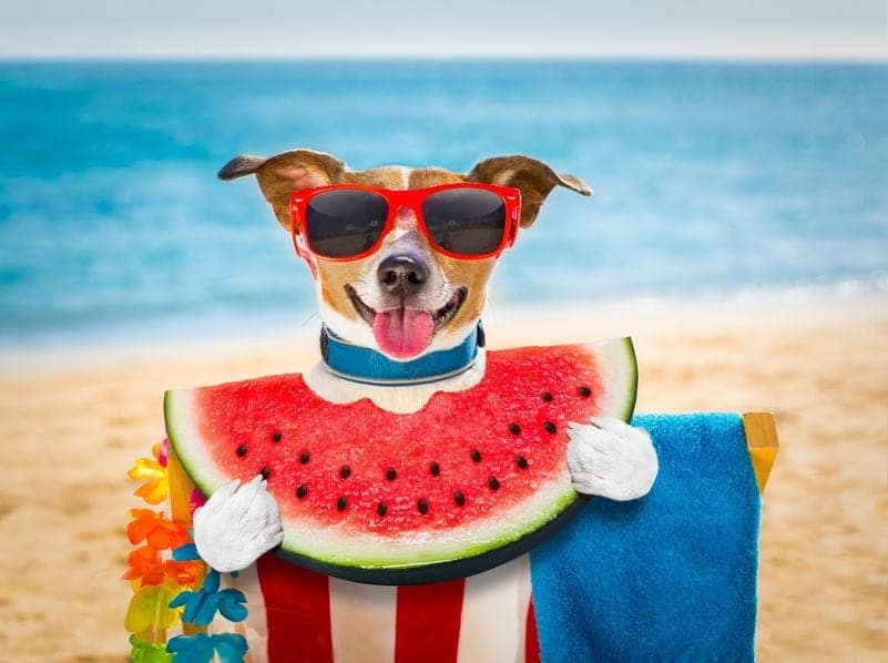 Human Food for Dogs: Can Dogs Eat Watermelon?