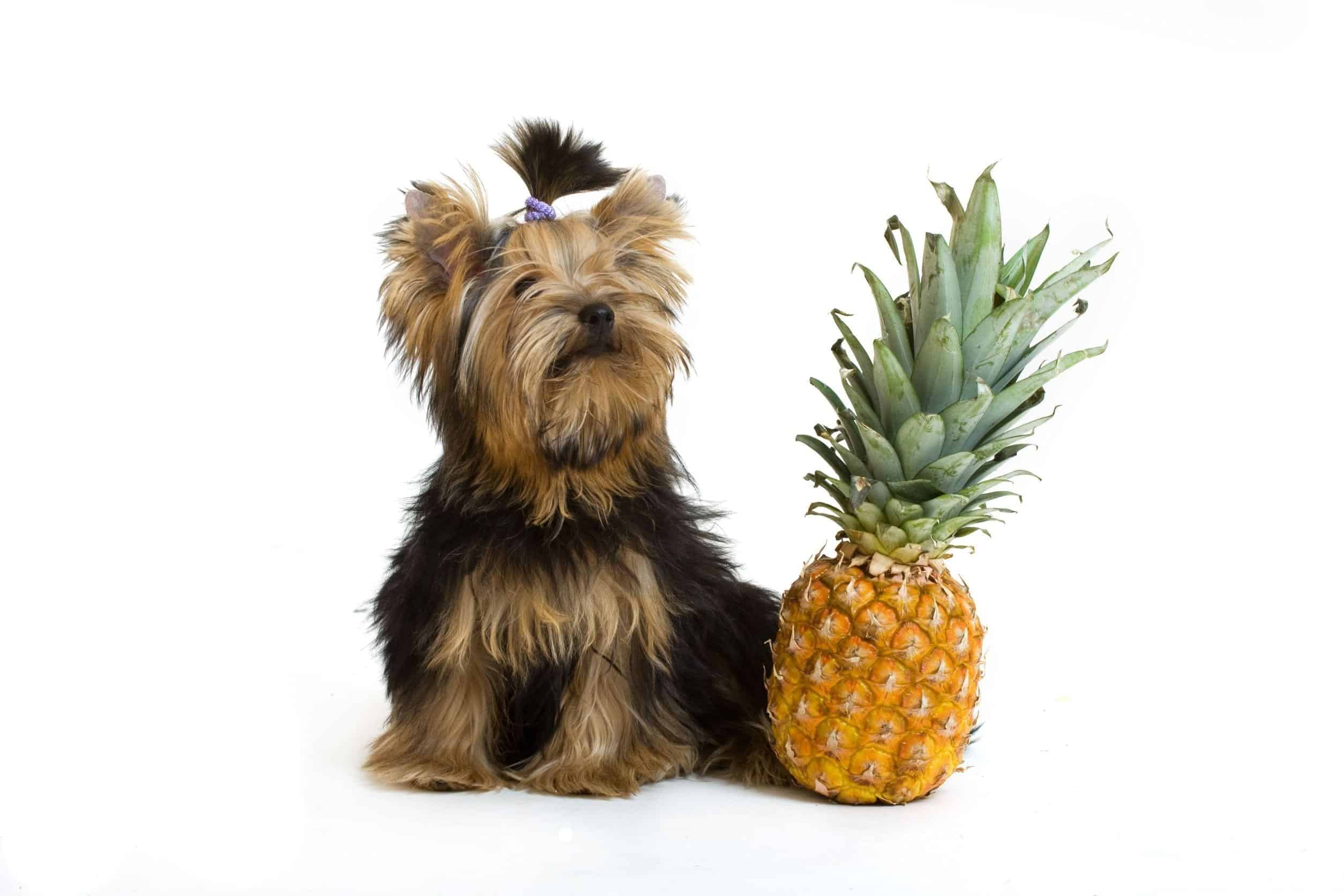 Can Dogs Eat Pineapple | Dr. Marty