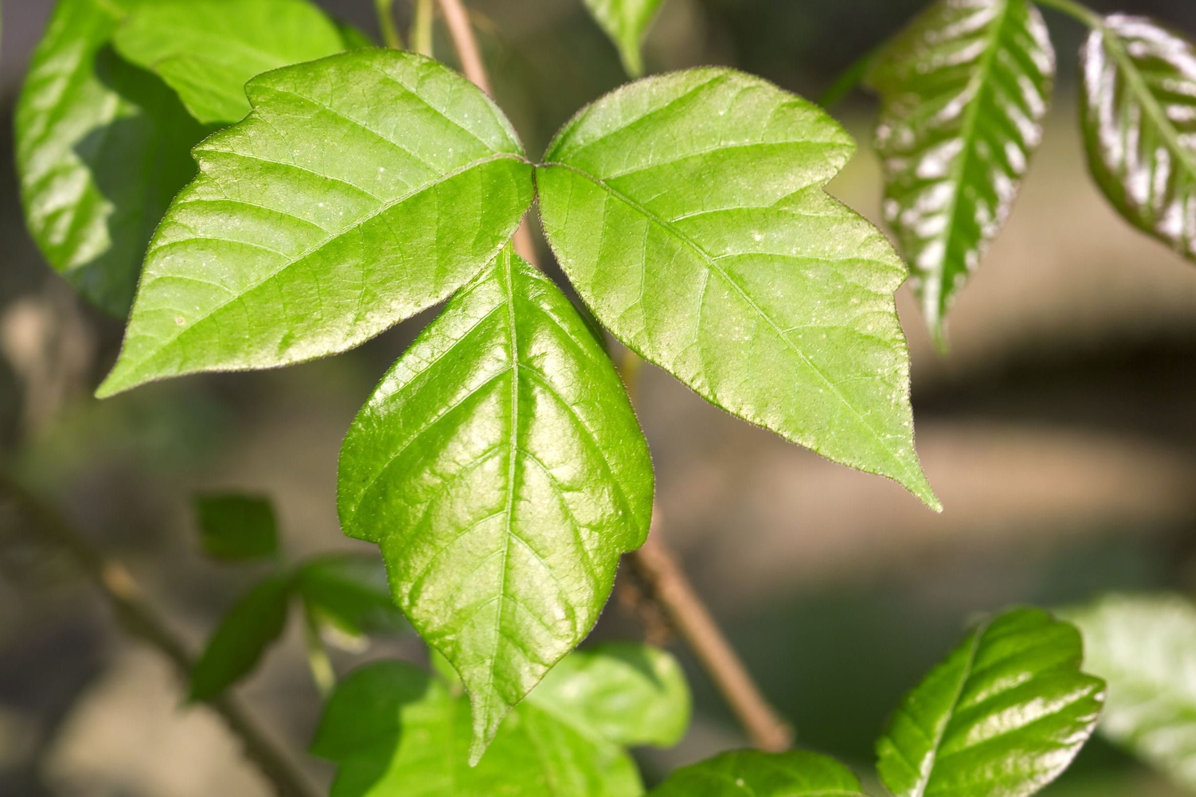 Doggy Danger: Poison Ivy on Dogs