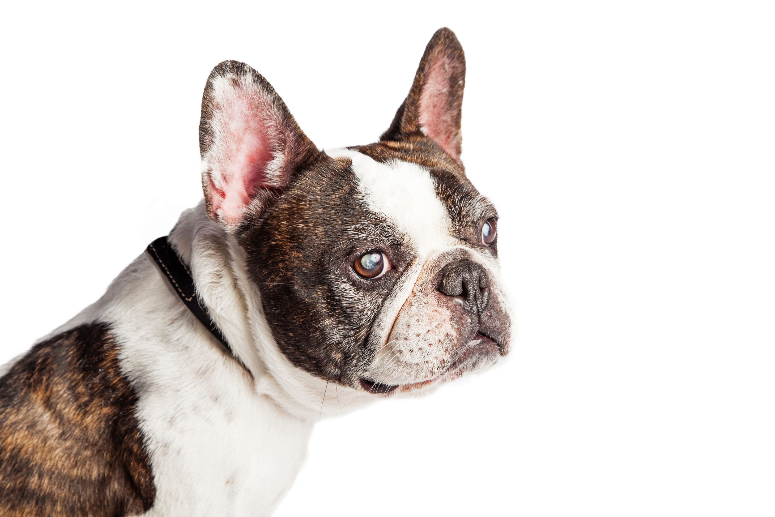 Canine Cataract Surgery: What You Need To Know