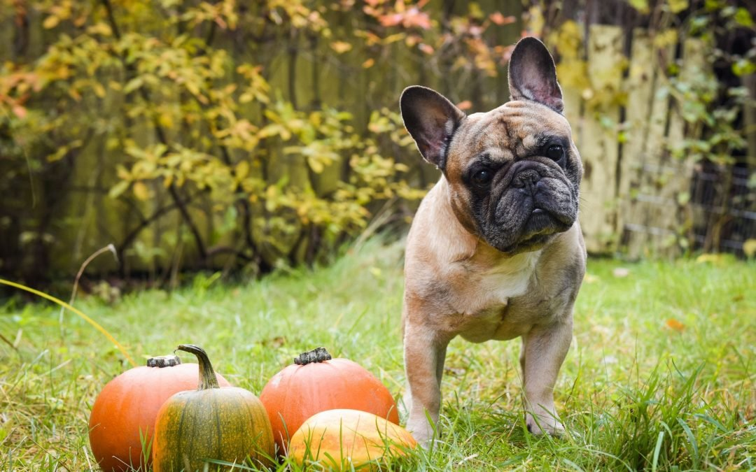 How Pumpkin Can Ease Your Dog's Upset Stomach