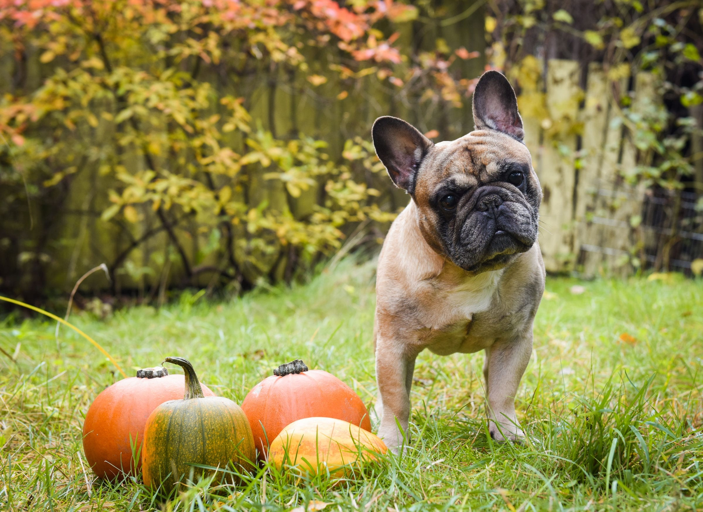 does pure pumpkin help dog diarrhea
