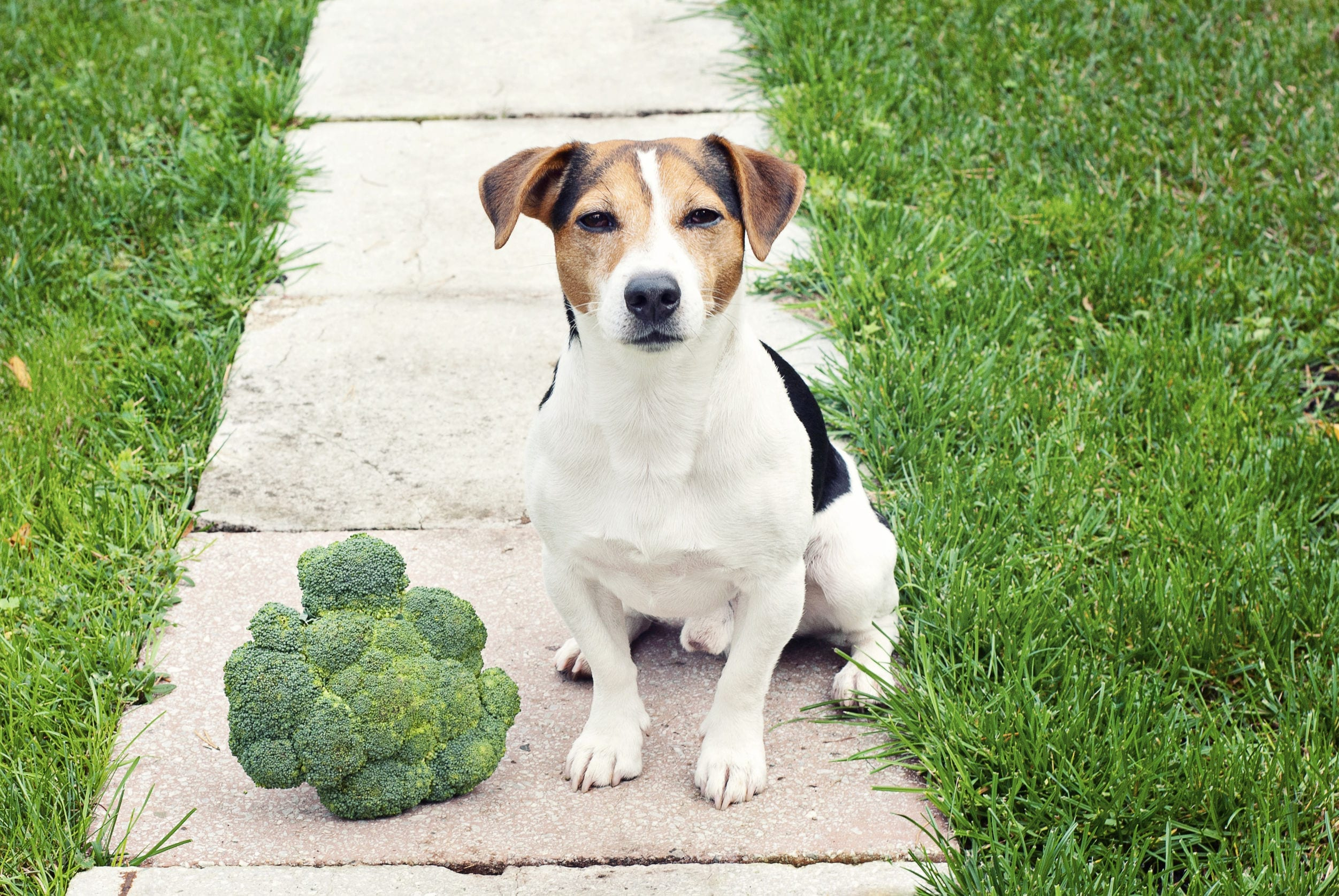 Human Food For Dogs: Can Dogs Eat Broccoli?