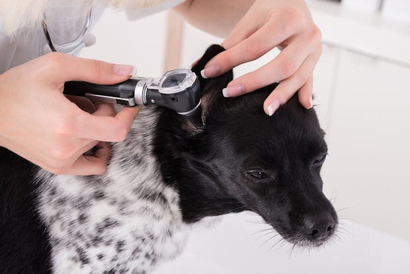 checking for dog ear infection