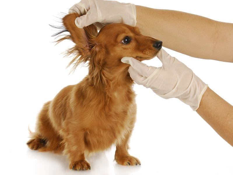 dog itch ear infection