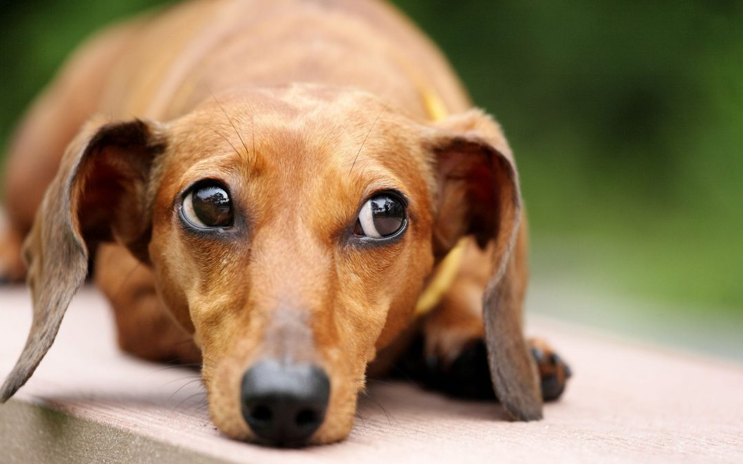 Why Do Dogs Vomit Undigested Food?