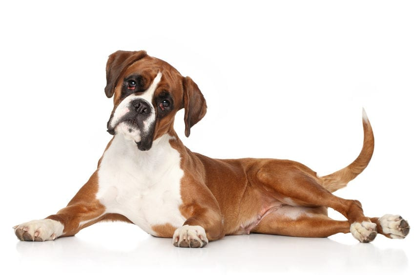 Dyspnea in Dogs | Dr Marty
