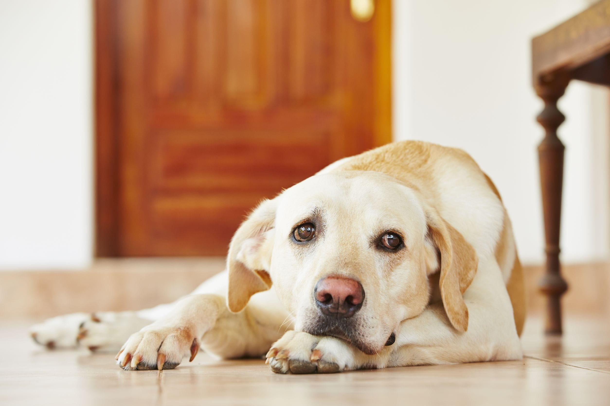 Dog Biting Nails What It Means & How To Stop It   Dr. Marty