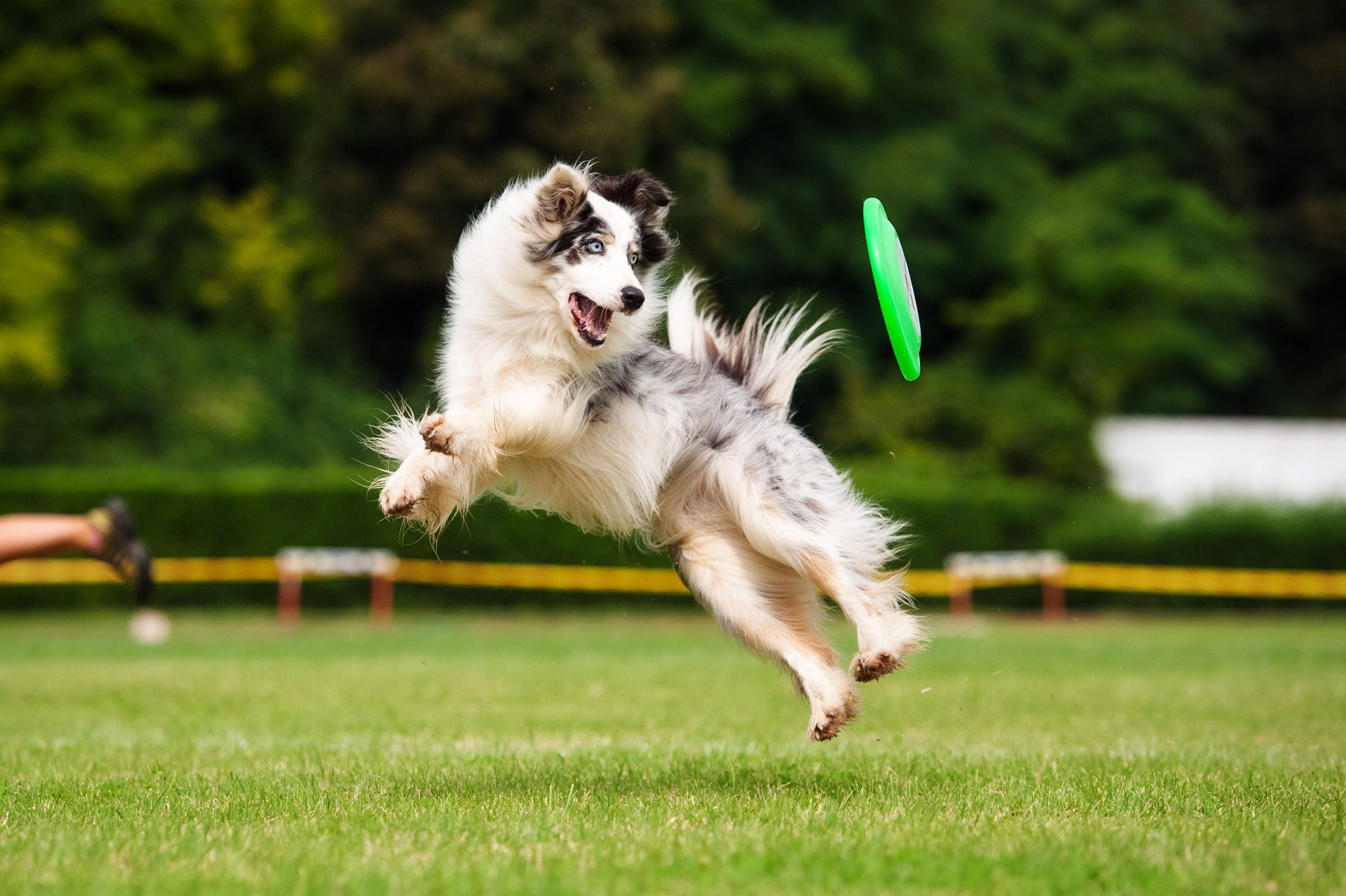 10 Of The Most Energetic Dog Breeds (which is right for you?)