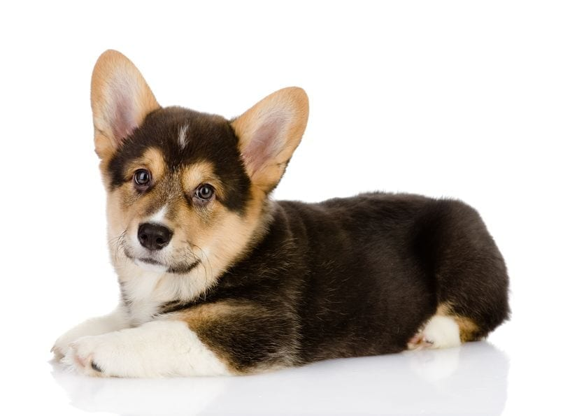 cardigan welsh corgi vs pembroke | Dr Marty