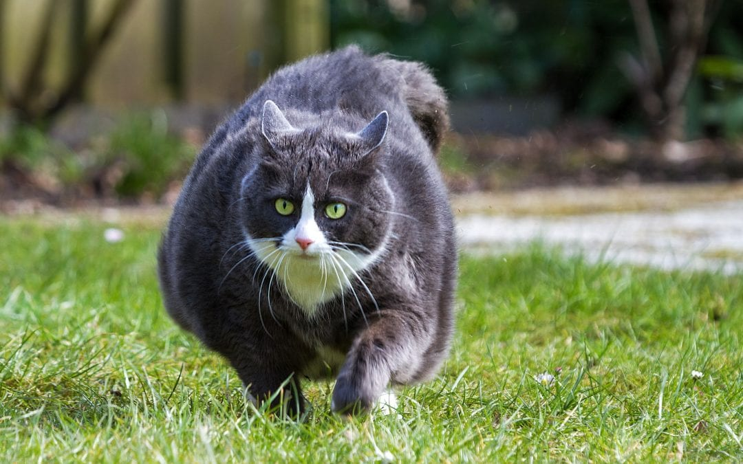 Help Your Obese Cat Lose Weight