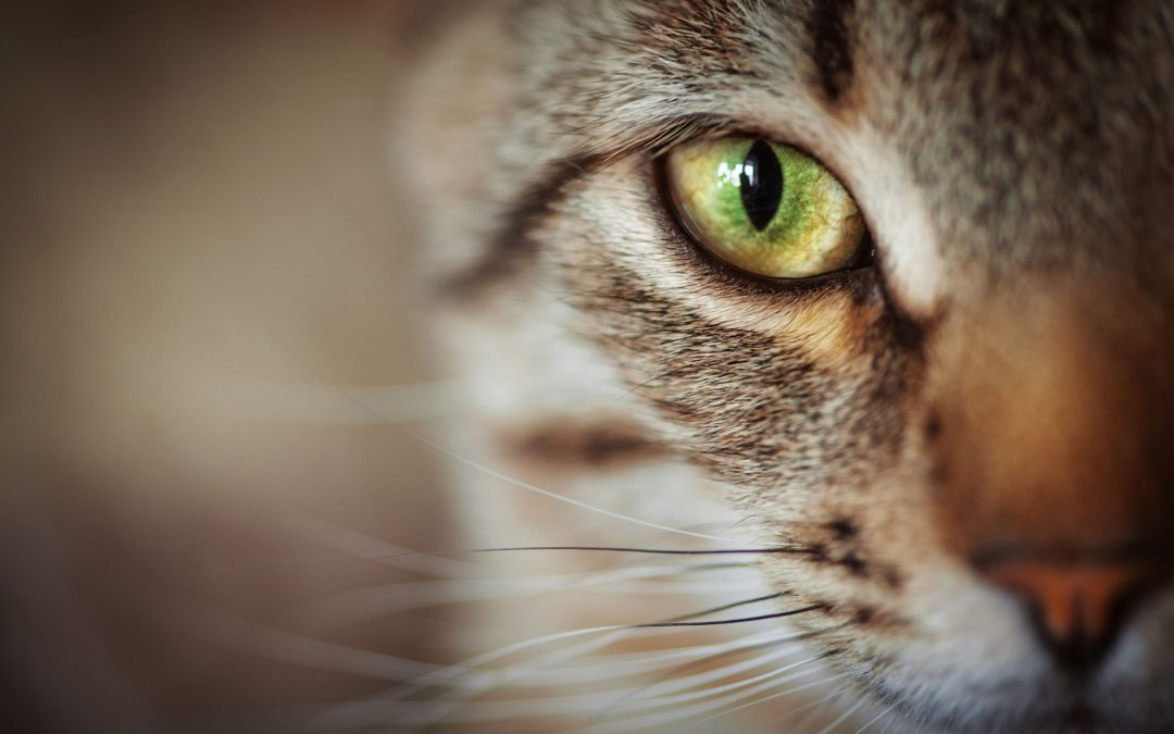 Cat Eye Infection – Causes, Symptoms, & Prevention
