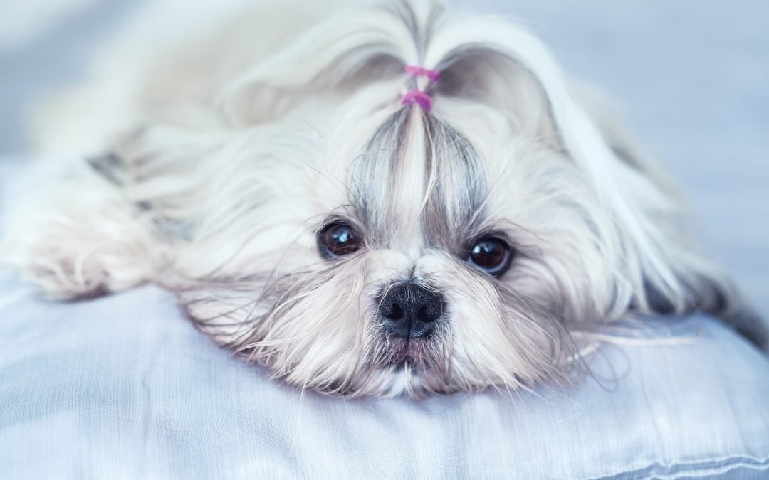 Shih Tzu Temperament Insights – What You Must Know