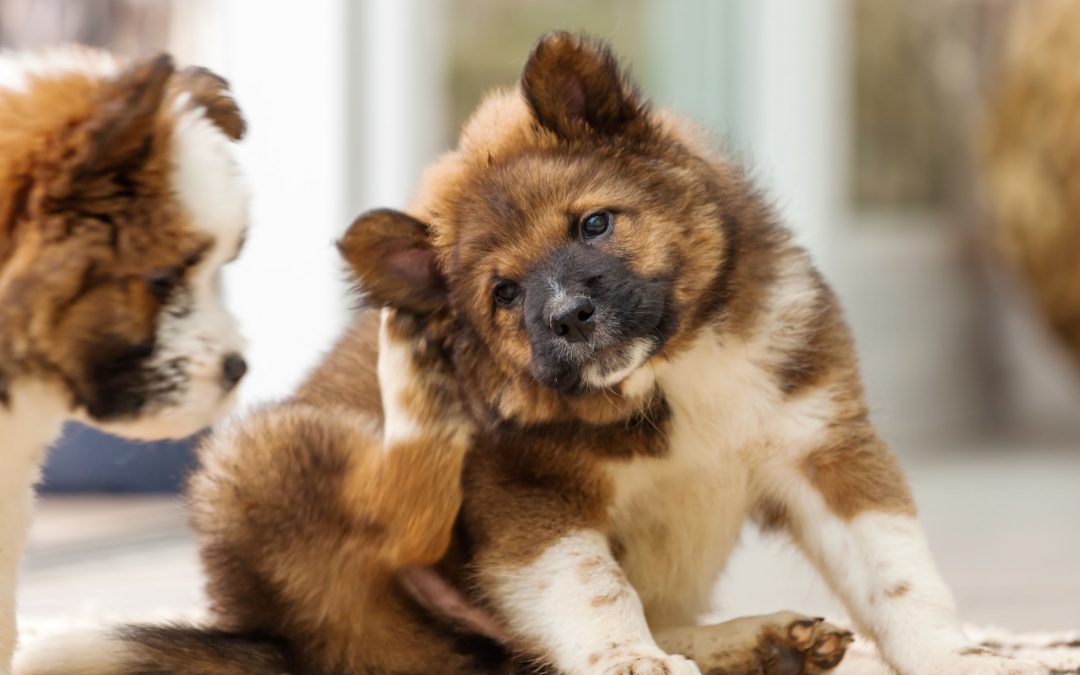 Dog Dandruff – Causes and Treatments