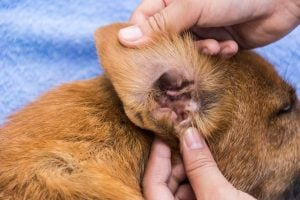mites in dogs | Dr Marty Pets