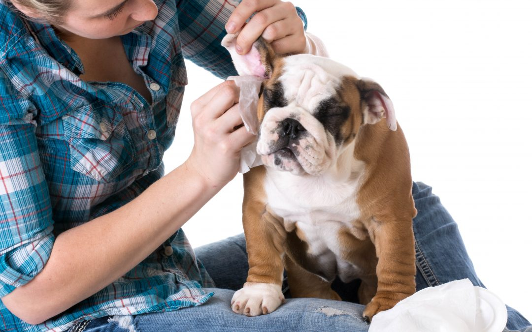 Ear Mites in Dogs – Symptoms and Treatment