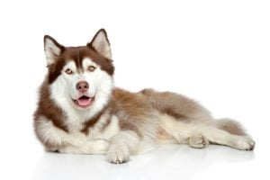 husky health problems | Dr Marty Pets