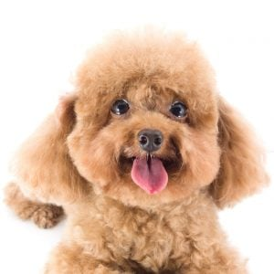 Poodle Temperament | Dr Marty Pets