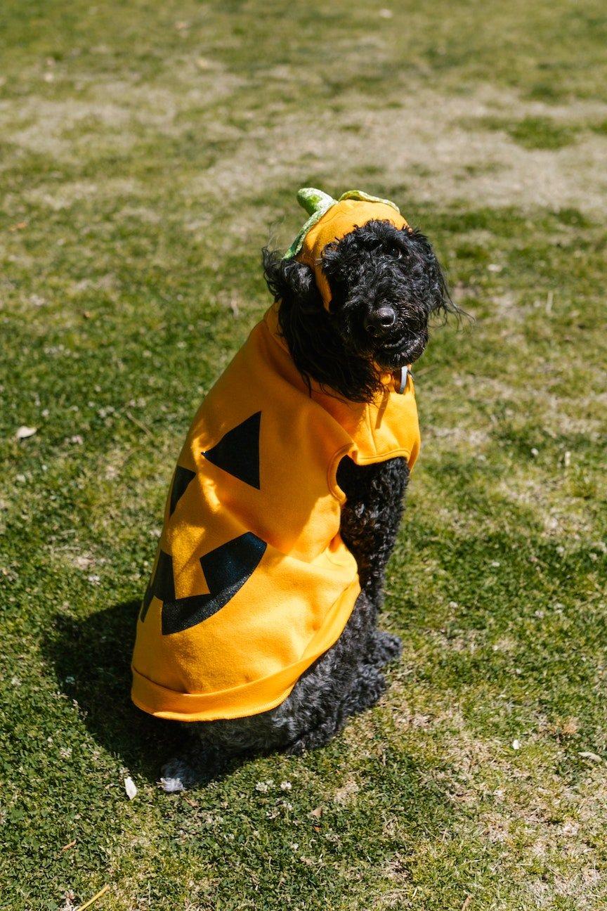 dog, cute, pumpkin, health, happy dog, diet, halloween, fall
